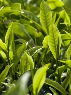 Молодой листок