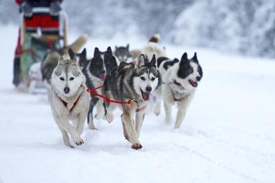 Объединенные гонки на собачьих упряжках пройдут в первой половине 2018 года