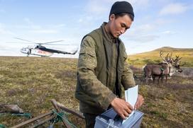 Досрочное голосование в оленеводческих хозяйствах НАО стартует в августе