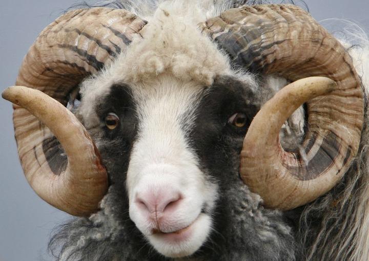 На омском Наврузе разыграют живого барана
