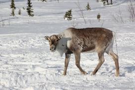 Древние останки северного оленя помогут ученым изучить миграцию животных