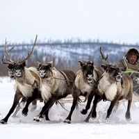 Жизнь современного оленевода