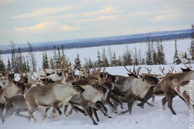Олени в Ямало-Ненецком округе остались без корма из-за гололеда
