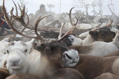 Ямальские оленеводы предупредили о возможной массовой гибели оленей