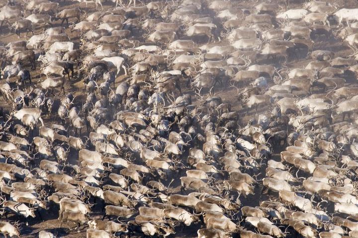 На Ямале осталось провакцинировать от сибирской язвы полмиллиона оленей