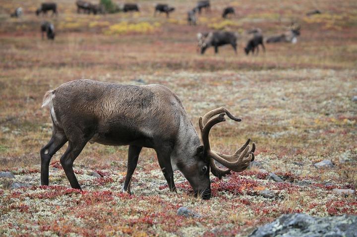 Ученые заявили об угнетенности ямальских оленьих пастбищ