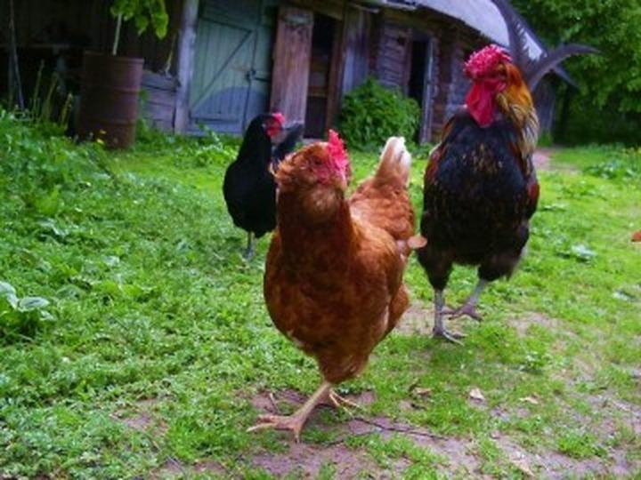 Гостей мордовского праздника научили скоростному лову кур