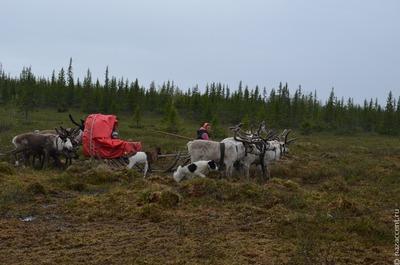 В Ненецком автономном округе предложили учредить День оленевода