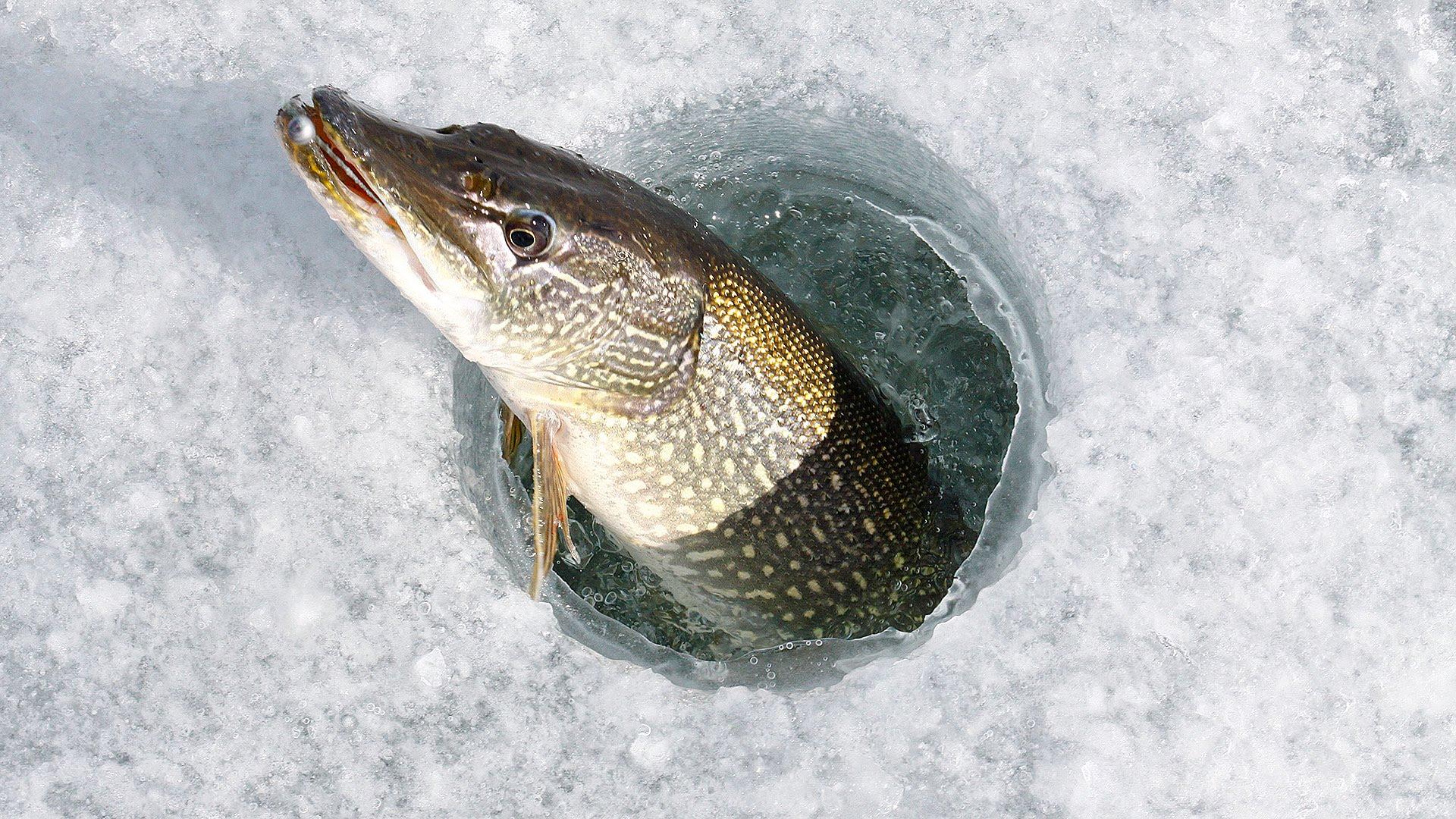 Прорубь с рыбой картинки
