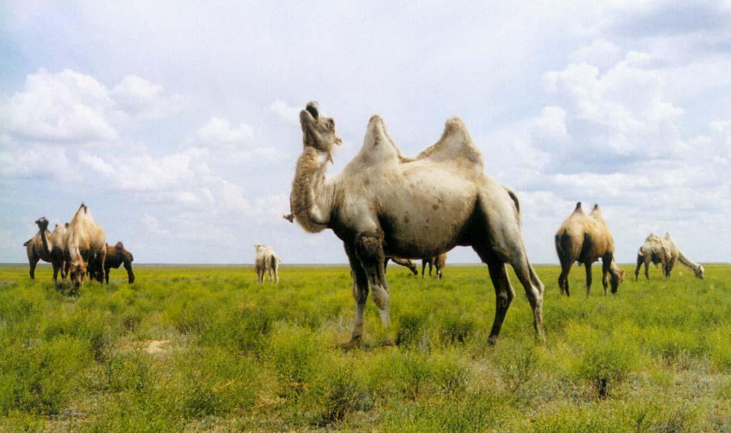 калмыцкие верблюды