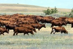 коровы калмыцкие